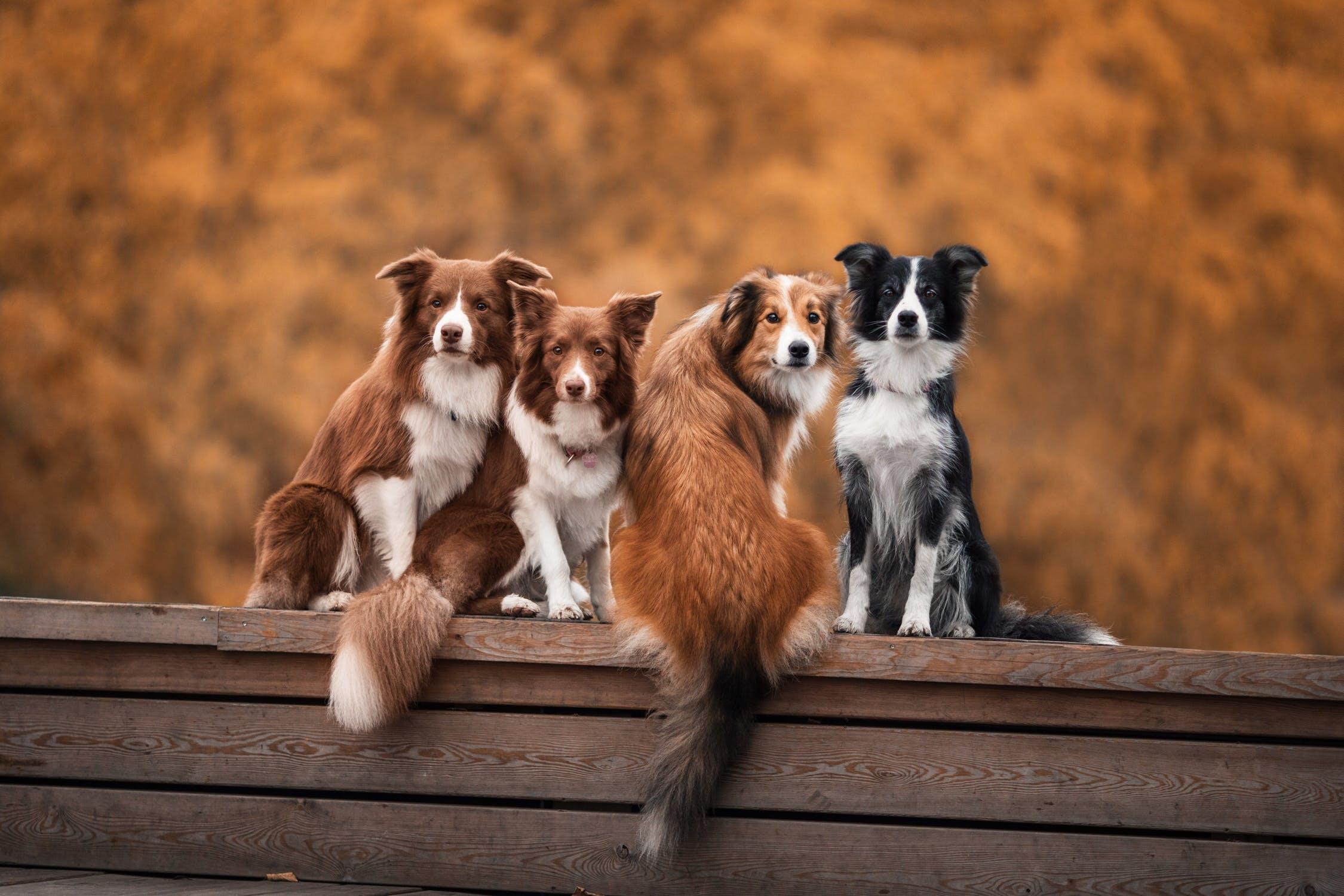 Sittande hundar